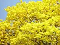 Guayacan Yellow Tree