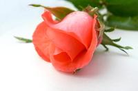 Pink Rose 1