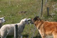 Animals,cheep and dog