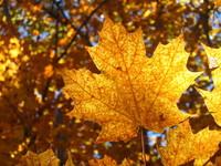 Gatineau Park Maple Leaves 7