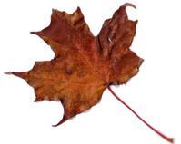 Maple Leaf Scanner Art 1