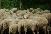 Unique sheep 1
