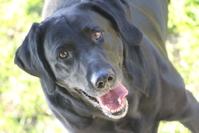 Happy black Labrador retriever dog