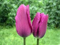 Wet flowers 1