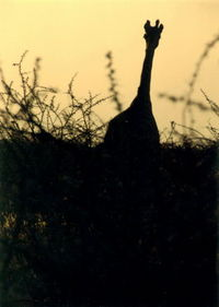 giraffe at dusk