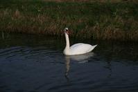Swan da Pwan
