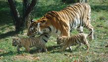 Tigers! 5