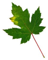 Leaf 30
