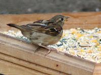 House Sparrow(s)