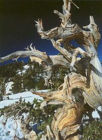 Winter Bristlecone