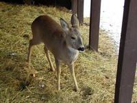 Deer Series 5
