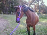 arabian_horse