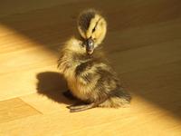 mongo the duck