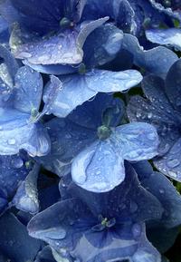 Newly washed blue hydrangeas