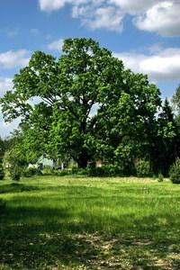 lonely ancient oak 1