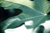 Strangle Leaf