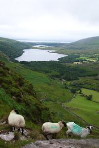 Sheep in Ireland 3