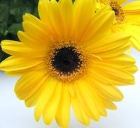 Gerbra Flowers