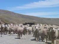 Sheep in Peruvian mountains 2