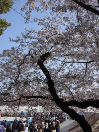 Cherry Blossom at Ieyasu Festi