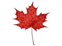 Maple-Leaf 4