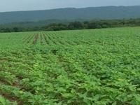 Black beans plants 2