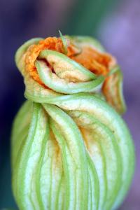 Zuchhini Blossom