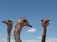 African Ostrich 4