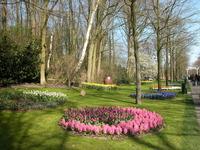 Pink Hyacinths bed