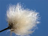 Glittering Blowball