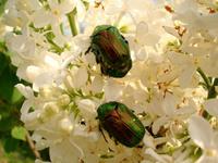 Scarabaeidae Cetoniinae 1