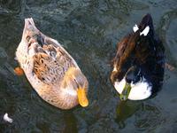 water under two ducks