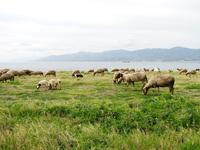 beach sheep