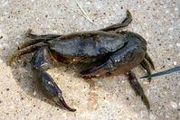 Rock Crab with no gratitude
