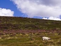 Billy No Mates Sheep