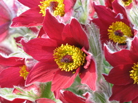 Red Flowers 4