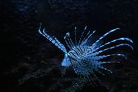 Lion Fish 3