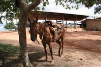 Mule 1