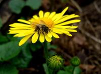 Yellow dais