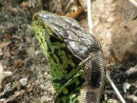 little lizard 4