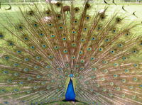 Beatifull peacock