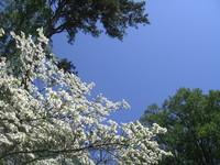 dogwood tree against sky