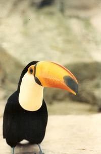 Ducan the toucan