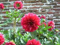 Flowers at my garden 6