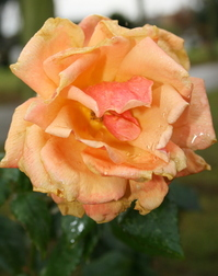 November Rose 1