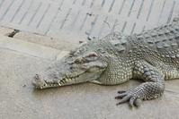 Crocodile in Farm