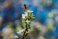 Flying honey bee