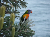 Sydney Rainbow Lorakeet