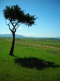Hunt at Masai Mara, Kenya