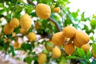 Lemon tree 4